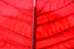 Red leaf background Stock Photo