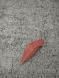 Red leaf and background. Red leaf fall down on the concrete road Stock Image