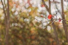 Red leaf background. Singe leaf on tree , fall season background Royalty Free Stock Image