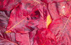 Red leaf background and texture Royalty Free Stock Images