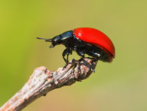 Red leaf beetle Royalty Free Stock Photo