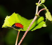 Red leaf beetle Stock Images