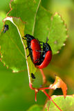 Red leaf beetles reproduction. In summer Royalty Free Stock Images