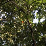Red leaf and big tree. Red leaf in the big tree Royalty Free Stock Photography