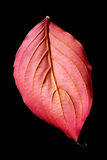 Red leaf on black background Stock Photography