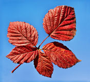 Red leaf on the blue sky. Autumn background Royalty Free Stock Photos