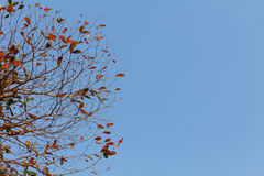 Red leaf on blue sky background Royalty Free Stock Photography