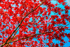 Red leaf with blue sky. season change. Royalty Free Stock Photos
