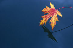 Red leaf on blue water Stock Photo