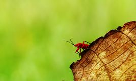 Red leaf bug Stock Image