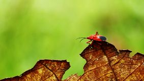 Red leaf bug Royalty Free Stock Image