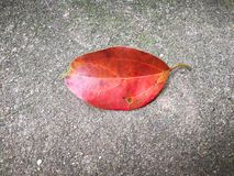 Red leaf Royalty Free Stock Image