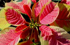 Red leaf of Christmas flowers. Beautiful leaves of Christmas flowers. Christmas flowers are the popular flowers used during the festive season of Christmas. In royalty free stock photography