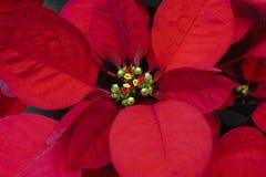Red of leaf christmas tree - Poinsettia plant macro royalty free stock photo