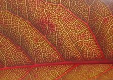 Red Leaf Close Up. Close up of red leaf taken in Pittsford, NY Stock Images
