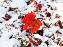 Free Red Leaf Close Up On Snowy Lawn In Autumn Royalty Free Stock Image - 130888906