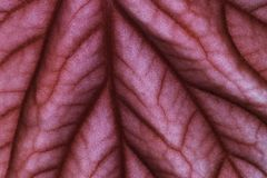 Red leaf closeup. Elephant plant leaf closeup, showing the surface pores and stoma Royalty Free Stock Photos