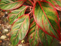 RED LEAF. Colorful leaf close up to shiny Stock Photos