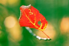 red leaf colors Stock Photography