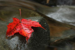 Red Leaf in Creek. A maple leaf resting on a stone in a creek Royalty Free Stock Photos