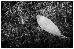 Leaf in Creeping Phlox Stock Photos