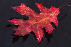 Red leaf on dark background Stock Image