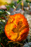 Red leaf. Dead fallen leaf in autumnal colors stock image