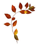 Red leaf delicate dry leaves flexible birch twig with dried leav. Es for a herbarium isolated element on white paper background for scrapbook object Royalty Free Stock Images
