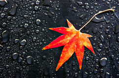 Red Leaf and Drops. A red Japanese Maple leaf among raindrops royalty free stock images