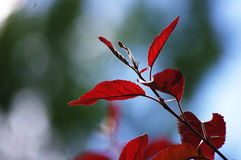 Red leaf. In early summer Stock Images