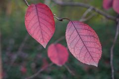 Red leaf in fall. Beautiful green and red leaf in fall Royalty Free Stock Image