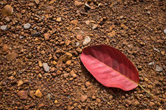 Red leaf fall on the ground Royalty Free Stock Photo