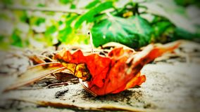 A red leaf on the ground. A red leaf falled on the ground stock image