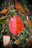 Red Leaf in Field Royalty Free Stock Photography