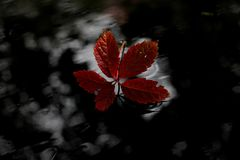 Red, Leaf, Flora, Black And White Stock Photos