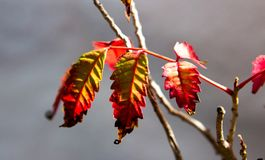 Red, Leaf, Flora, Close Up Stock Images
