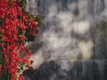 Red Leaf Flower Hanging Near Grey Concrete Fence Royalty Free Stock Photo