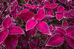 Red leaf foliage background. Red leaf coleus plants background Stock Photography