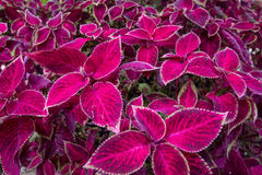 Red leaf foliage background. Red leaf coleus plants background Royalty Free Stock Photography