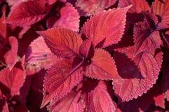 Red leaf foliage background Royalty Free Stock Photo