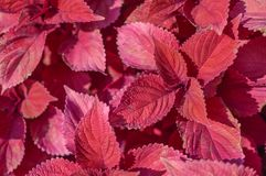Red leaf foliage background Royalty Free Stock Images