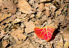 Red leaf on foliage Stock Images