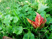 Red leaf in garden. Red autumn leaf in green fall garden Royalty Free Stock Photos