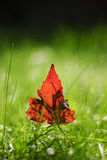 Red Leaf in the Grass. A shallow Focused Macro of a red autumnal leaf in the grass in the morning light stock photo
