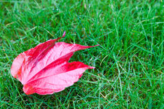 Red leaf in the grass Royalty Free Stock Images