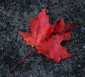 Red Leaf on Gravel Royalty Free Stock Images