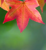 Red Leaf On Green Background Royalty Free Stock Photos