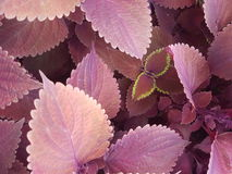 Red leaf royalty free stock images