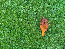 Red leaf on green grass lawn Stock Photo