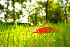 Red leaf on green grass and tree in the background. In the image, there is a red leaf on green grass Royalty Free Stock Photo